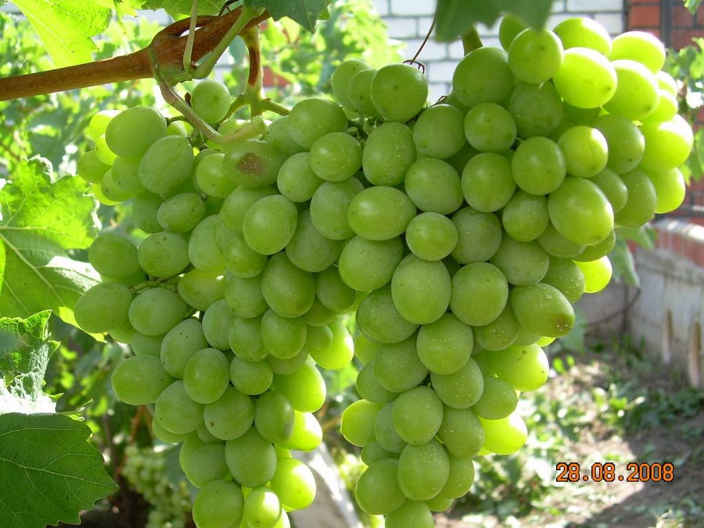Виноград Аркадия: подробное описание сорта
