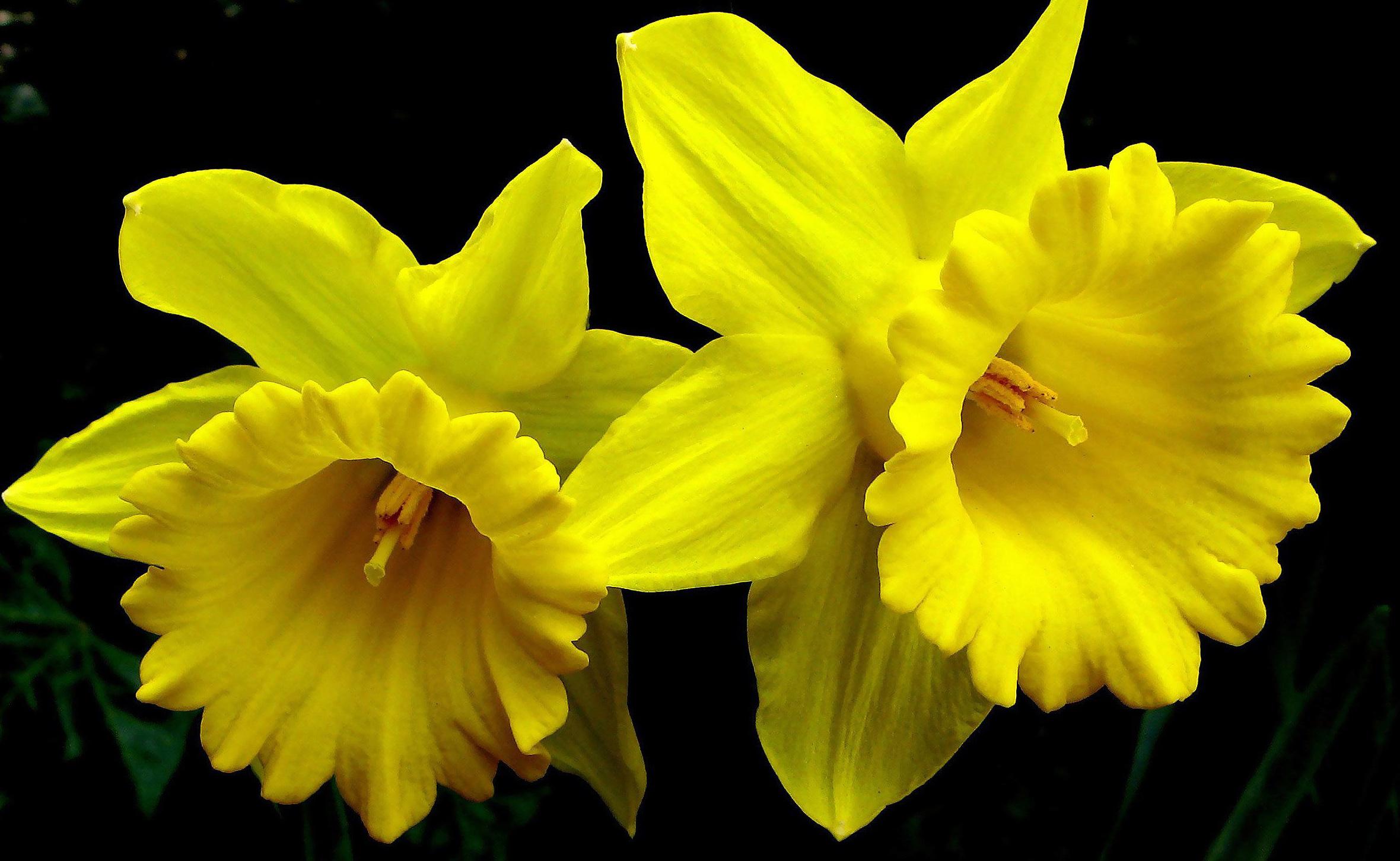 Цветки нарцисса описание