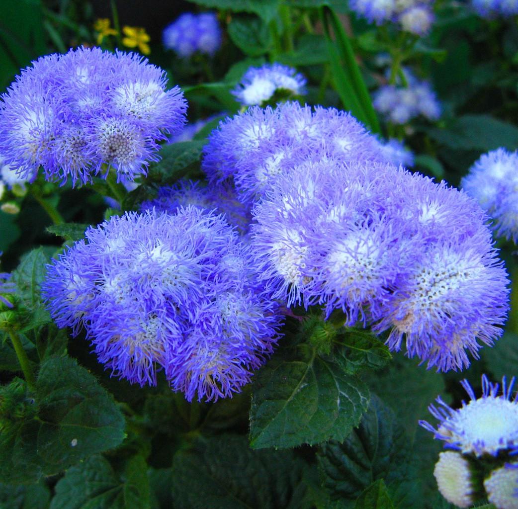 Агератум синий букет выращивание из семян когда сажать — img 15