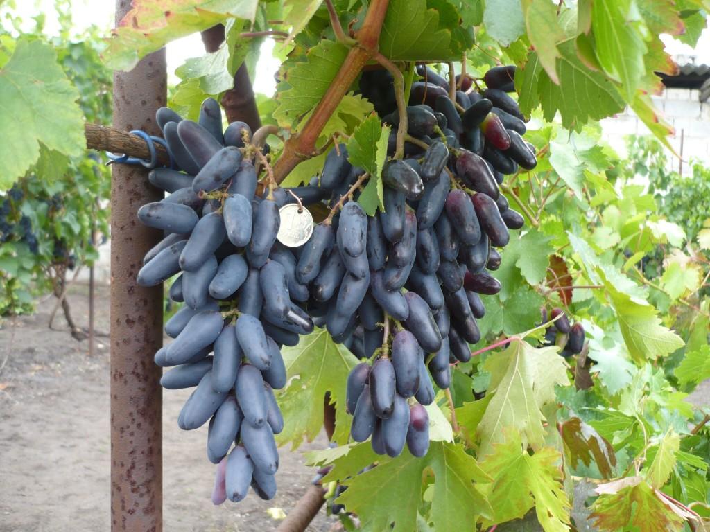 Особенности выращивания винограда сорта Кодрянка: подробное описание