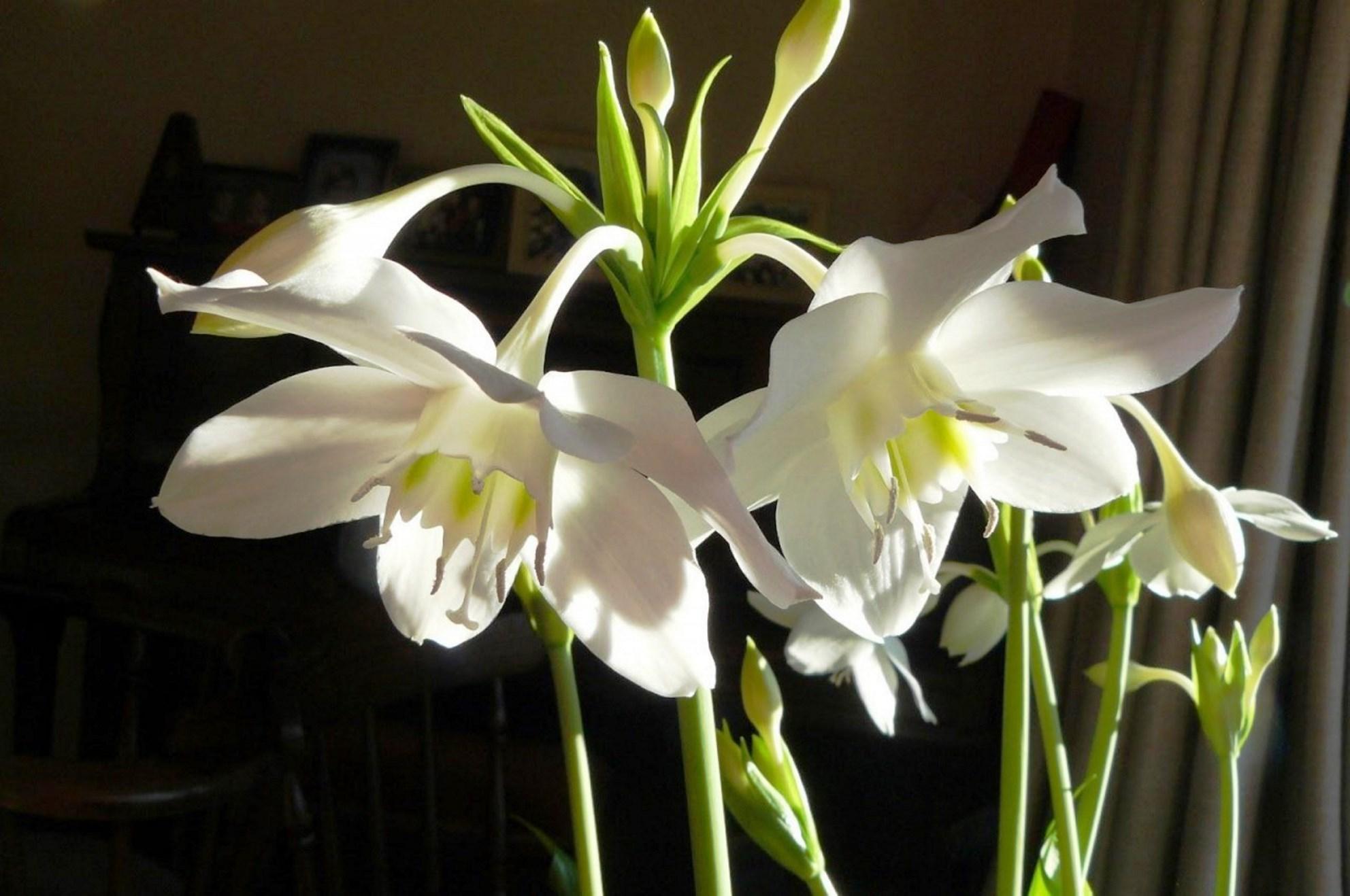фото как зацветает комнатная лилия