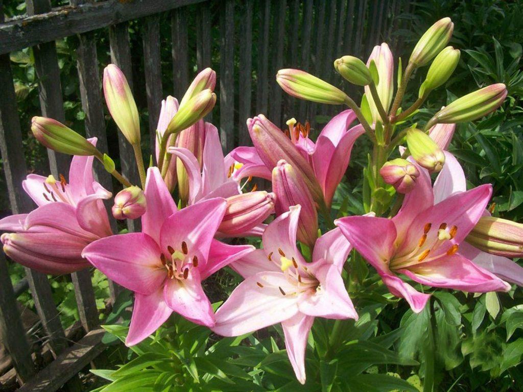 Выращивание лилий в саду и на балконе