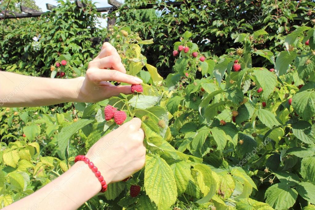 Как ухаживать за кустами малины?