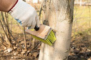 Побелка деревьев осенью: инструкция к применению
