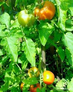 Выращиваем томаты: органическое удобрение, навес от солнца и позитивный настрой