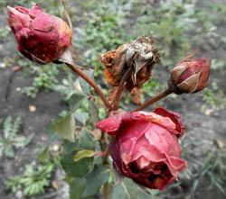 Почему вянут розы на клумбе