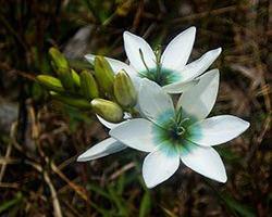Иксия: радостное многоцветие в вашем саду