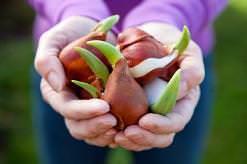 Хранение луковиц тюльпанов в домашних условиях