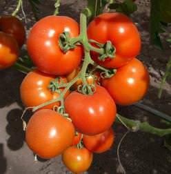 Правила выбора сорта и особенности выращивания крупноплодных томатов в теплице