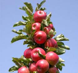 Как вырастить колоновидные яблони в своем саду