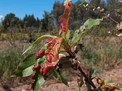 Лечение запущенной курчавости персиков