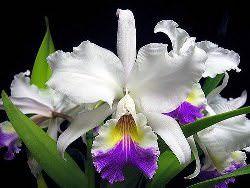 Как правильно обрезать орхидею после цветения (10 фото)