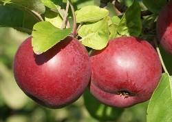 Яблоня Макинтош: описание, фото, отзывы