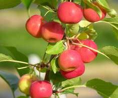 Яблоки Ранетки долго