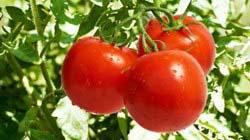 Срок созревания помидоров