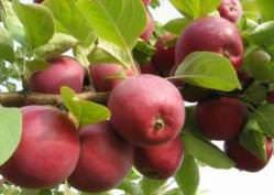 Яблоня Орлик (описание)