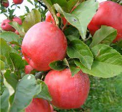 Яблоня Лигол (описание)