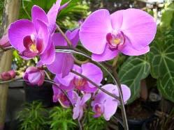 Сорта орхидей фаленопсис с фото и названиями
