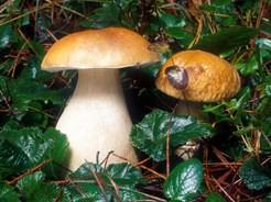 Основные способы и правила выращивания белых грибов в искусственных условиях