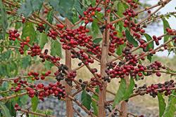 Кофейное дерево: болезни и уход в домашних условиях