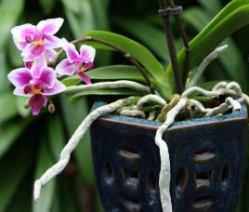 Чем обработать корни орхидеи после обрезки