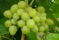 Сорт винограда Настя: фото и описание