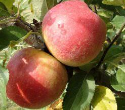 Яблони сорта Беркутовское: фото и описание сорта