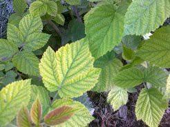 Почему желтеют листья у ремонтантной малины