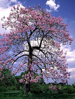 Адамово дерево (10 фото)