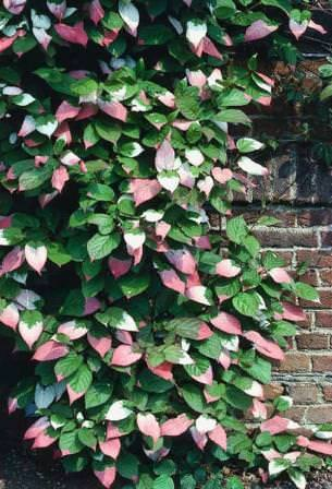 Отличительные черты растения