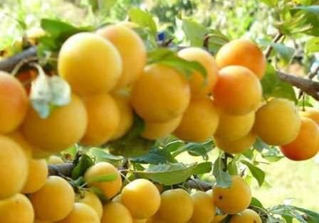 Злато скифов - сорт алычи удивит замечательным вкусом и ароматом