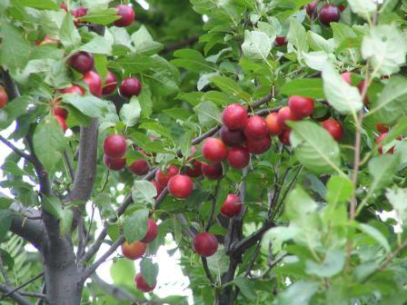 Самые популярные сорта алычи, которые выбирают для посадки 80% дачников