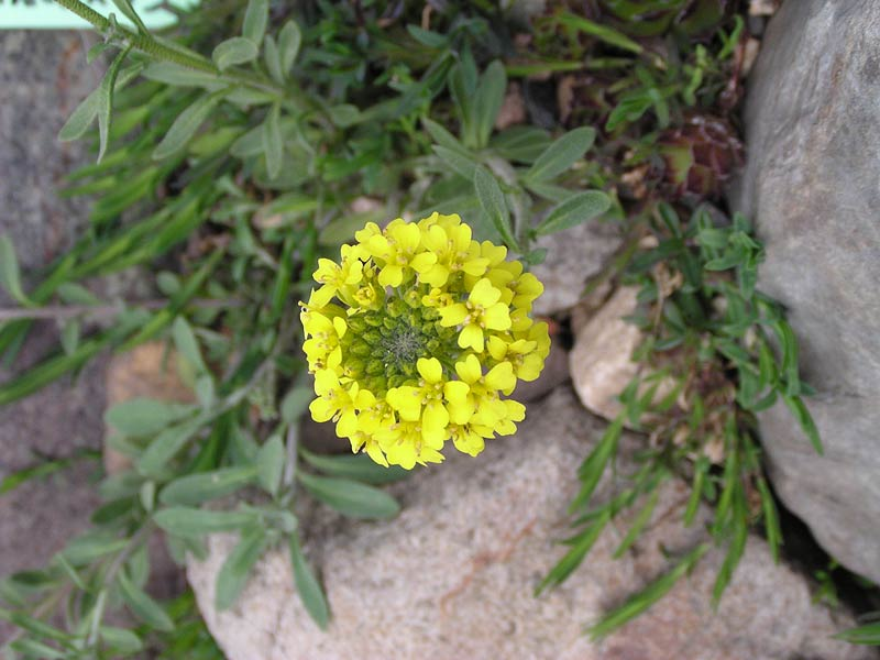 Алиссум душистые цветы в саду фото