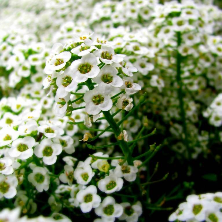 цветы алиссум фото: