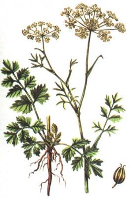 Выращивание аниса обыкновенного