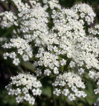 """Анис цветет обильно, при плотных посадках, смотрится как """"белое море"""""""
