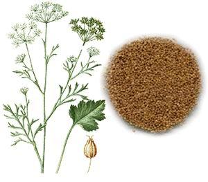 Удобрения, при выращивании аниса, вносятся осенью
