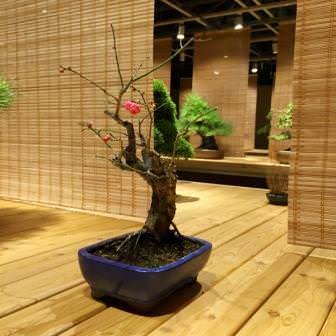"""Японская слива зацвела на выставке бонсай в """"Аптекарском огороде"""""""