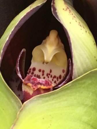 Орхидея Тюльпан