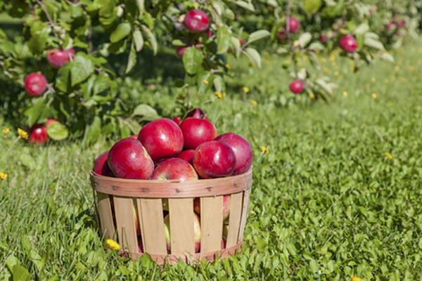 Созревают сорта яблок «Анис» в разное время