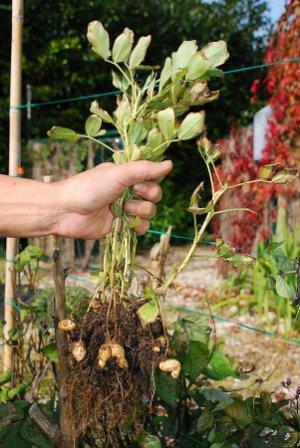 Как и прочие бобовые культуры арахис подвержен атакам гусениц, тли и трипса