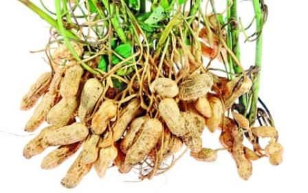 Лучшими предшественниками для растения будут капуста, томаты, картофель, огурцы