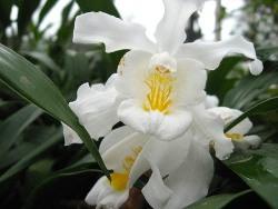 Орхидеи рода Целогина по простоте содержания занимают практически первое место среди орхидей