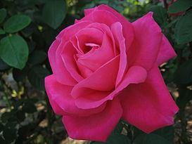 Чайно-гибридная роза (20 фото)