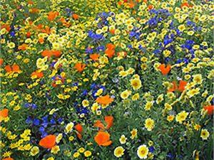 Посадка мавританского газона весной