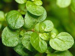 Размножение солейролии возможно даже для начинающих цветоводов