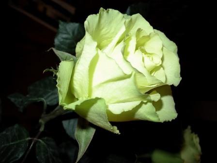 . Все зелено розовые сорта могут быть высажены в грунт весной, в тот момент, когда уже точно нет заморозков