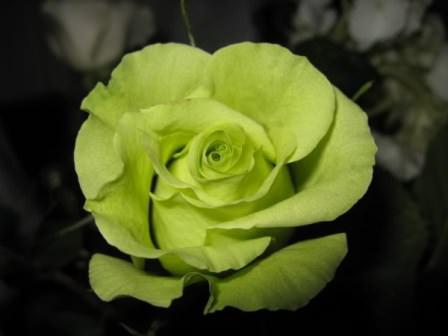 Зеленые розы на даче