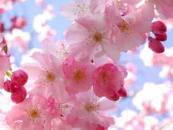 Сакура Японская вишня