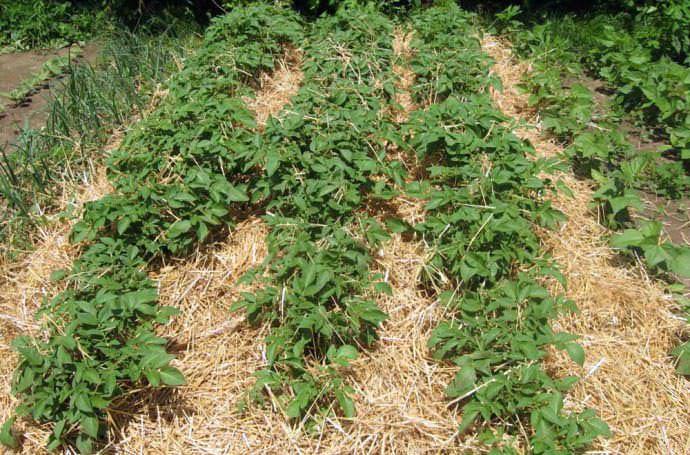 Для выращивания картофеля без прополки используется мульчирование